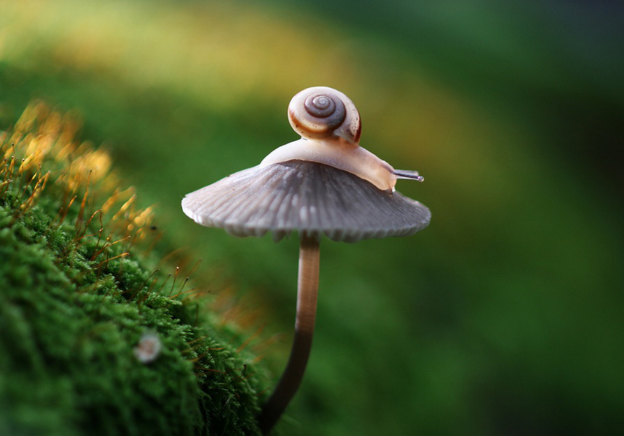 Small, pink snail resting on top of a gray capped mushrom with green moss as the background