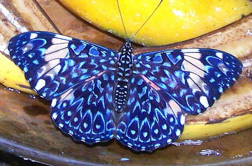 Starry Night Cracker butterfly