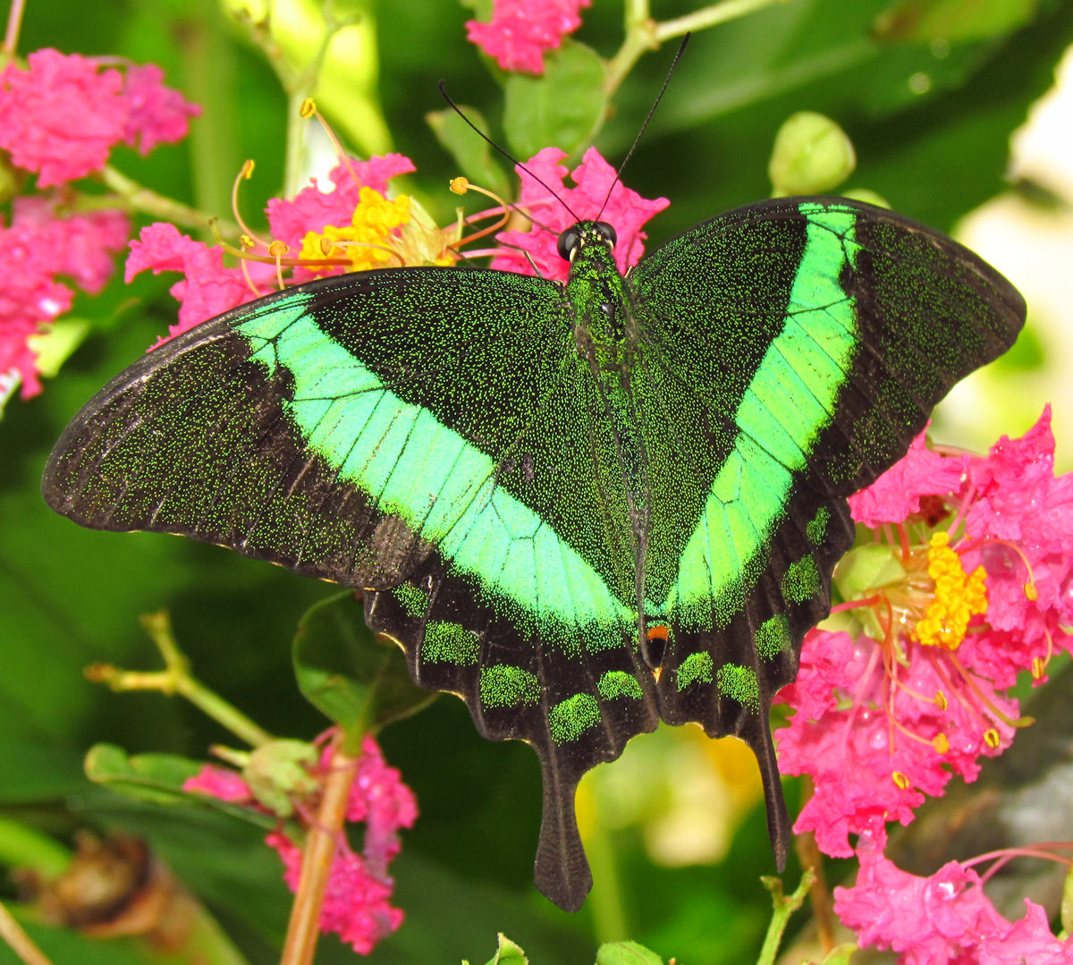 Emerald Swallowtail butterfly
